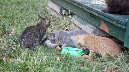 Three homeless kittens eat a forage from the bowls