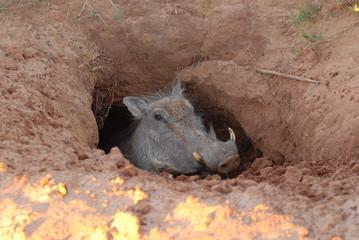 Warthog in a hole