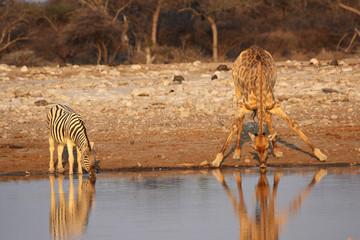 Giraffe und Steppenzebra am Wasserloch im Etosha-Nationalpark