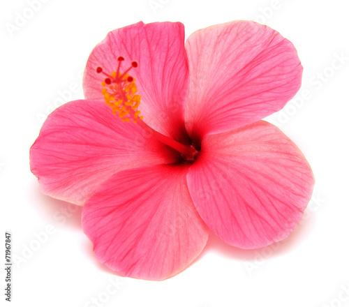 Papiers peints Fleur Pink hibiscus