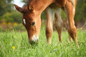 Cute chestnut foal at the grazing