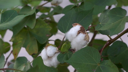 Cotton Plant Budding