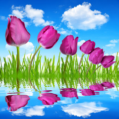 purple tulips with dewy green grass on blue sky