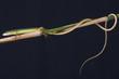 Grass lizard / Takydromus septentrionalis