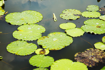 white lotus and leaf on water in sunlight