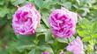 Obrazy na płótnie, fototapety, zdjęcia, fotoobrazy drukowane : close up rose flower on bush