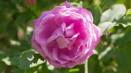 close up rose flower on bush