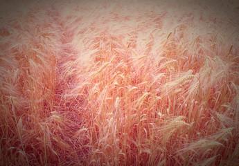 Retro look Barleycorn field