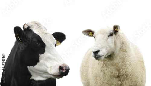 Fotobehang Schapen Cow and Sheep isolated