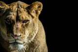Fototapety leone - lion