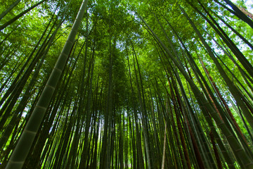 Wide spread of the Bamboo forest