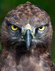 Close-up photo of a Martial Eagle.