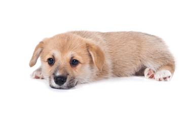 щенок лежит на белом фоне