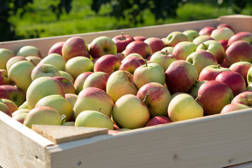 Apfelkiste - Elstar - Apfelernte - Obsternte Äpfel