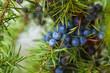 Leinwandbild Motiv Juniper berries