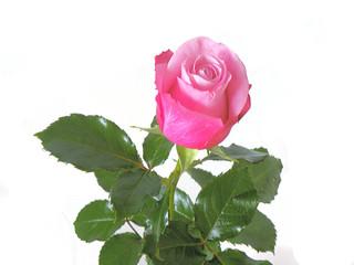 różowa róża na białym tle