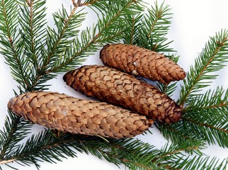 twigs of spruce and cones