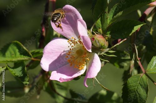 canvas print picture Abeille pollinisant un églantier
