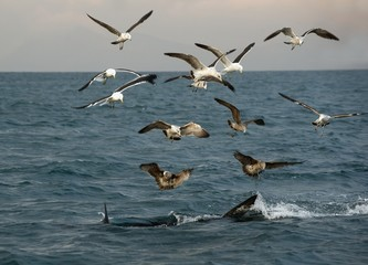 Fins of a white shark and Seagulls