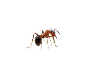Ant on white
