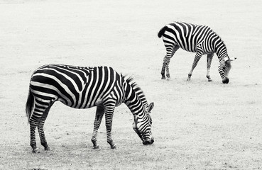 Two zebras grazing in the meadow