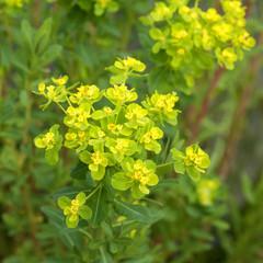 Sumpfwolfsmilch; Euphorbia, palustris;