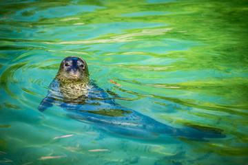 foca comune - seal