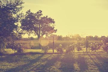 Vineyard in sunset