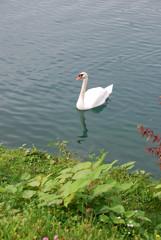 Japanese knotweed at the bank of a lake Bled