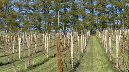 ワインのブドウ畑_2