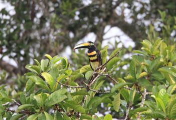 Many-banded Aracari (Pteroglossus pluricinctus) in Ecuador