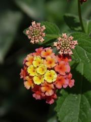 grappolo di fiori colorati su sfondo nero (Lantana camara)