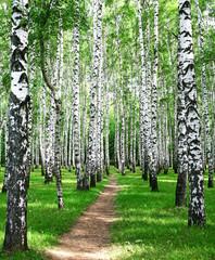 Pathway in the summer birch grove