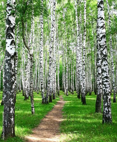 Pathway in the summer birch grove - 72008016