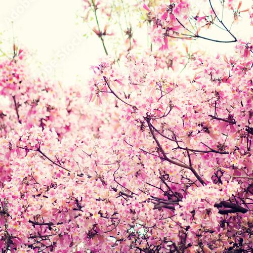 Vintage tree with pink flowers in bloom in spring - 72009457