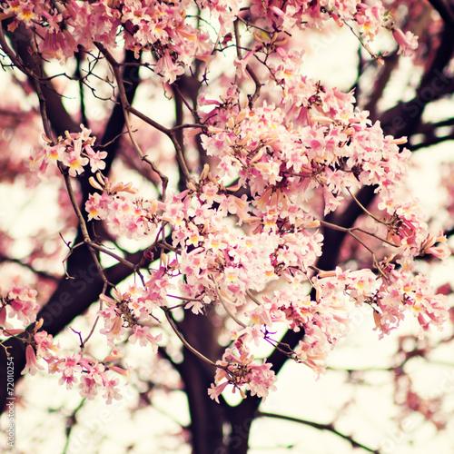 Vintage pink tree in spring - 72010254