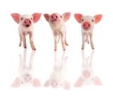 three pig