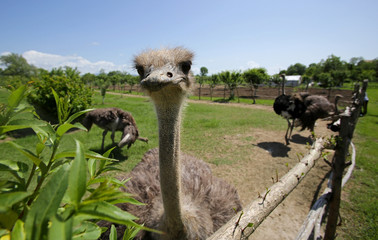 Female ostrich next to the fence of the farm