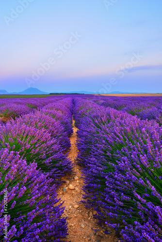 Lavender field - 72012864