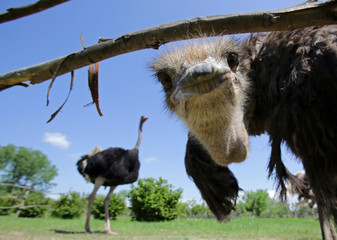 Female ostrich looking under the fence in a farm