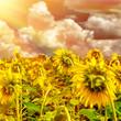 Sunflower field on sunset