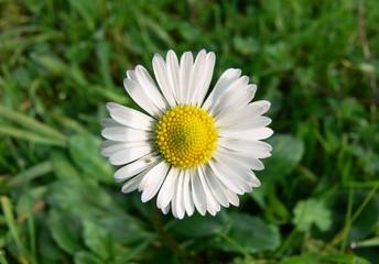 fiore di margherita (Bellis perennis)