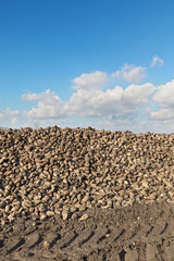 Agriculture, sugar beet, root harvesting in field, heap of crop