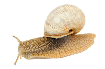 Crawling Roman Snail Isolated on White Background