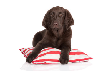 flat coated retriever puppy on a pillow