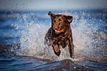 labrador running in the water