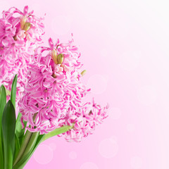 Pink hyacinths on blurred background with bokeh. Spring card wit
