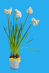 Double white daffodils in a flower pot on a blue background.