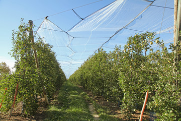 filet anti-grêle d'une plantation de pommiers