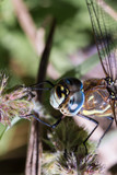 Migrant Hawker Dragonfly poster